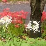 巾着田曼珠沙華公園の中に数本の白い曼珠沙華を見つけました。     ・その中に白曼珠沙華の二三本(和良)