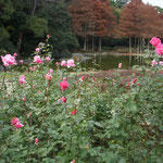 徳島市の城山にある徳島中央公園で見た冬薔薇です。凛としていました。  ・彩をたどりて来れば冬薔薇(和良)