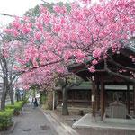 北品川の荏原神社で見た寒緋桜です。沖縄で見た寒緋桜を思い出しました。 ・琉球の寒緋桜の江戸に咲き(和良)