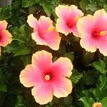 藍住町のクリニックの玄関にハイビスカスが咲き続けていました。 ・秋の日のハイビスカスの花の色(和良)