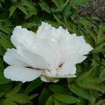 夜半の雨を置く残った牡丹の花には散り際の美しさを感じました。    ・平成の御世を見届け牡丹散る(和良)