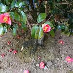 枯山水の石庭には椿がたくさん植えられていました。          ・音のして椿丸ごと落ちにけり(和良)
