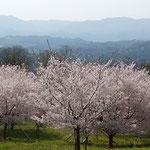 徳島市のとくしま植物園の丘から見た桜と阿波の山々です。       ・のどかかな丸太の椅子の温かく(和良)