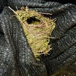 山葵田の黒い覆いを下から覗くと小鳥の巣がありました。 ・山葵田の覆ひ覗けば小鳥の巣(和良)