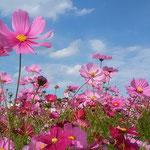 鳴門ウチノ海総合公園のコスモスは青空に映えていました。       ・コスモスの色を極めし空の青(和良)