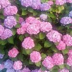 藍住町で散歩の時に見た雨上がりの紫陽花は綺麗でした。 ・雨あとの紫が好き濃紫陽花(和良)