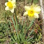 板野町で見た黄水仙です。太陽に輝いて見えました。          ・水仙の終りし後の黄水仙(和良)