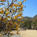 徳島市の阿波史跡公園で見た臘梅です。大勢見に来ていました。                          ・臘梅や史跡公園山裾に(和良)