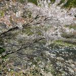 月ヶ谷温泉から川沿いに降りると落花が巻き上がっていました。 ・巻き上がる落花を浴びて谷下る(和良)