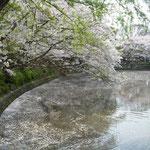 鎌倉の鶴岡八幡宮の池では鯉が動く度に花筏がさざめいていました。  ・花筏鯉の背鰭にさざめけり(和良)