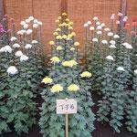 丁子菊は花びらが香料の丁子の花に似ていると言われています。     ・丁子なる花は知らねど丁子菊(和良)