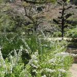 松山市の湯築城跡で見た雪柳です。白い花が鮮やかでした。 ・予の国の城の跡なる雪柳(和良)