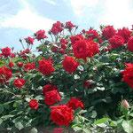 藍住町では、垣根の上まで薔薇が咲き競っていました。 ・天突きて咲き競いたり薔薇の花(和良)