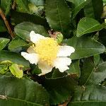 吉野川市の藤井寺の庫裏で見つけた茶の花です。            ・茶の花の黄色い蕊の美しき朝(和良)