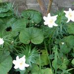 我が家の庭に百合の花が咲きました。庭が明るくなりました。      ・百合咲いて狭庭にはかに華やぎぬ(和良)