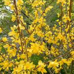 阿波市土成町の熊谷寺の境内に山吹が咲いていました。  ・山吹に元気もらったてふ遍路(和良)