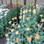 新宿御苑の江戸菊花壇の菊はそれぞれ受け継いできた特色がありました。 ・泰平の江戸の栄華や菊の花(和良)