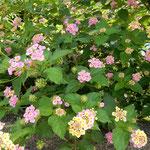 ランタナの花は犇くようにびっしりと咲いていました。  ・ランタナの犇けるごと咲きし庭(和良)