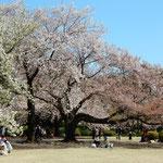 「桜を見る会」が終わった後、あちらこちらでお花見が始まりました。  ・観桜会終り始まるお花見も(和良)