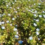 板野町の大日寺のいぬふぐりです。一面に咲いていました。       ・いぬふぐり足の踏み場もなきほどに(和良)