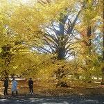 新宿御苑の植物園の温室前の大銀杏です。黄葉が見事でした。      ・大銀杏黄葉音立て散り急ぐ(和良)