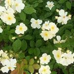 藍住町の薔薇園でキューガーデンという名の薔薇を見ました。      ・キューガーデンなる懐かしき名の白い薔薇(和良)