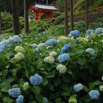 宇治市の三室戸寺には一万株の紫陽花があり、咲き始めたところでした。      ・山麓に三室戸寺あり濃紫陽花(和良)