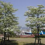 外輪船のクルーズが人気の大津港では花水木が満開でした。 ・外輪船出入りす港花水木(和良)