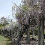 海陽町の蛇王運動公園の藤の花です。大勢の家族連れに出会いました。 ・子ら帰り元の静寂藤の花 (和良)