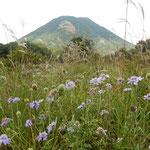 榛名山の麓の花野には松虫草の群生がありました。           ・松虫草より榛名山始まれる(和良)