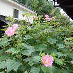 高梁市には武家屋敷があり、庭に大きな芙蓉が咲いていました。       ・武家屋敷庭の芙蓉のこんもりと(和良)