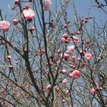 散歩の途中、藍住町で見た紅梅です。七部咲きでした。  ・紅梅の競へる空の青さかな(和良)