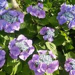 梅雨晴れの鳴門で見た紫陽花です。輝いていました。          ・梅雨晴れて紫陽花ことに輝ける(和良)