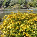 新宿御苑の日本庭園では山吹が山吹色に輝いていました。          ・山吹の山吹色がことに好き(和良)