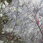 徳島市の城山に登りました。紅白の梅が咲いていました。  ・紅白の梅競ひたる空青し(和良)