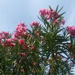 徳島市中央公園の夾竹桃は青空に向かって勢い良く咲いていました。   ・青空へ夾竹桃の咲きっぷり(和良)