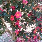 旧農業大学跡地の庭の山茶花は散っても真っ赤でした。         ・こぼれゐし山茶花なほも真っ赤かな(和良)