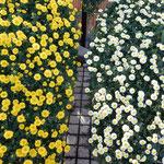 吉野川市市役所前の菊花展の懸崖は咲き揃って綺麗でした。       ・犇めきて重ならず懸崖の菊(和良)