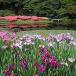 皇居東御苑の菖蒲園です。花菖蒲とさつきが満開でした。 ・花菖蒲さつきと色を競ひをり(和良)