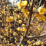 五番札所の奥院の満開の臘梅は日が当たって艶やかに見えました。    ・蠟梅の盛りの花の艶やかさ(和良)