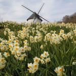板野町の徳島あすたむらんどで見た水仙です。満開でした。                             ・水仙の咲き満つ丘を登りゆく(和良)