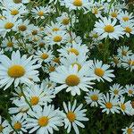 藍住町の公園の花壇一面にマーガレットが咲いていました。 ・マーガレット咲きて明るき公園に(和良)