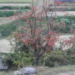 奈良県の明日香に行ってきました。棚田に柿が実っていました。  ・一年の終はりし棚田柿実る (和良)