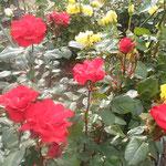 薔薇園の薔薇は鮮やかな原色が多いように思われました。          ・原色の艶比べなり薔薇祭(和良)