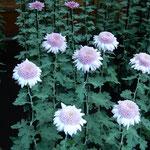 新宿御苑の菊花壇展の丁子菊の中でも一番豪華に見えました。      ・外国人多き御苑の菊花展(和良)