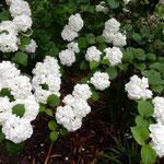 神宮寺の小手鞠の花は雨上りに白が浮き出ているように感じました。   ・木戸口を入れば小手鞠咲き満ちて(和良)