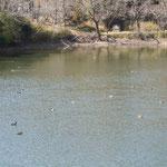 常楽寺の池の鴨はよく動いていました。                                           ・池の鴨引く気配なり散り散りに(和良)