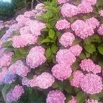 たっぷりと雨が降った朝の紫陽花はことのほか綺麗でした。 ・たっぷりと降りたる朝の濃紫陽花(和良)