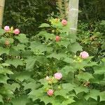 高麗郷の古民家は江戸時代に高麗本郷村の村長だった新井家の屋敷です。 ・古民家の裏庭楚々と芙蓉咲く(和良)