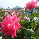 藍住町の薔薇園でマリアカラスという薔薇を見ました。         ・薔薇が好きマリアカラスの赤が好き(和良)